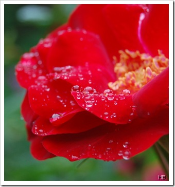 Rose im Regen © H. Brune