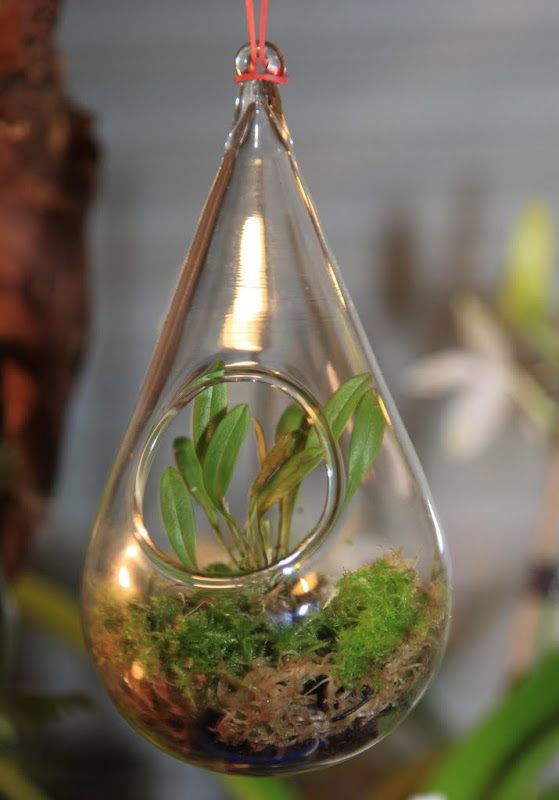 mini orchidee in glaskugel orchideenforum. Black Bedroom Furniture Sets. Home Design Ideas