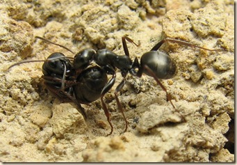 20110517 BHW Lasius niger carrying live worker