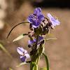 Prairie Spiderwort