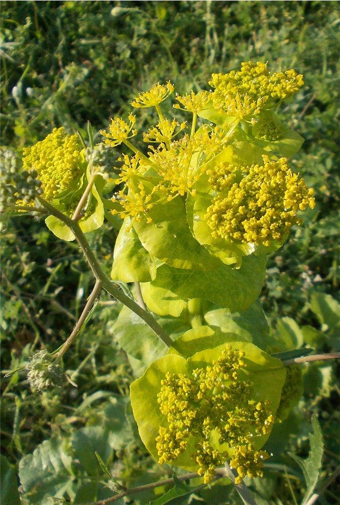 Perfoliate Alexanders (Σμύρνιο το στρογγυλόφυλλο)