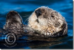 Sea Otter Portrait