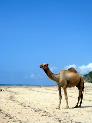 Camel walking on the beach in Lamu Kenya