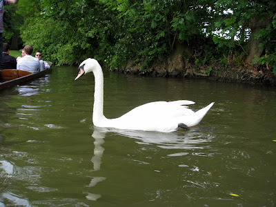 Swan on the river in Oxford