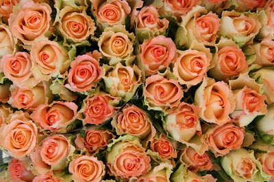 Roses at a market in Amsterdam in Holland