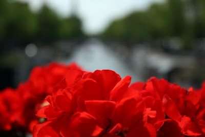 Red flowers on a bridge over a canal in Amsterdam in Holland