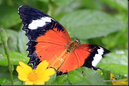 Leopard Lacewing Buttefly - Male upper