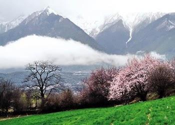 西藏林芝:桃色妖娆的粉色春天