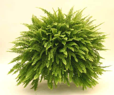 Como utilizar plantas para absorber contaminantes del aire for Planta ornamental helecho nombre cientifico