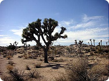joshua-trees-lots