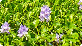 water-hyacinth-flower