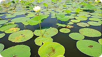 lilly-pads-2