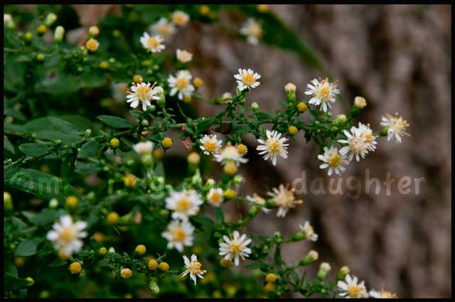 Wildflower Wednesday: The ex-Asters