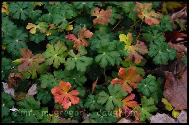 Geraniums* for Fall Foliage Color