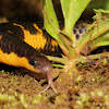Large Scaled Shield Tail Snake