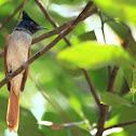The Asian Paradise Flycatcher ( Female)