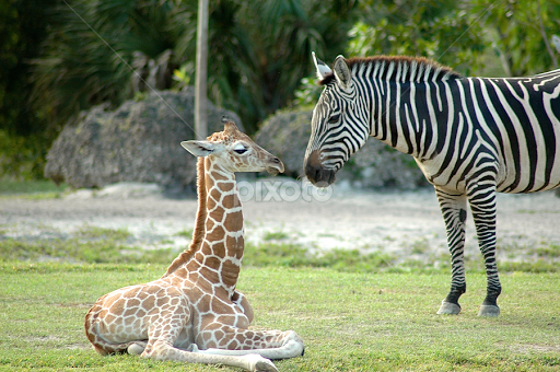 zebras and giraffes - photo #34
