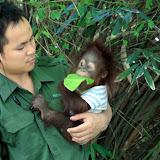 Baby orangutan in Borneo