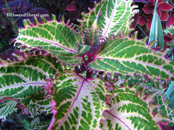 Hoe and shovel 10 great plants for florida fall color instead of bemoaning the facts weve learned to create our own splashes of color for fall with varieties of foliage and fall blooming perennials mightylinksfo