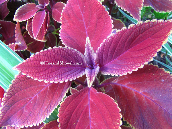 Hoe and shovel 10 great plants for florida fall color 1coleus providing rich hues of magentas chartreuse and deep aubergine used throughout in the design of this warm climate garden they offer dimension mightylinksfo