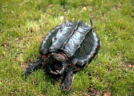 Alligator Snapping Turtle 01