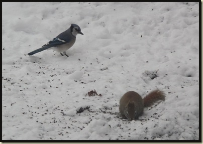 Blue Jay / Red Squirrel