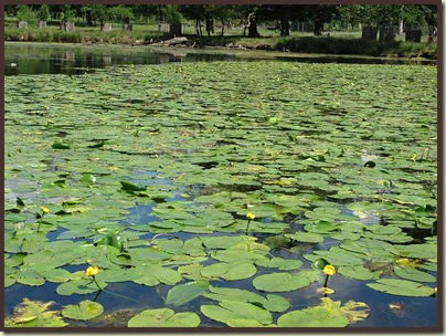 A pond full of Yellow Water Lily