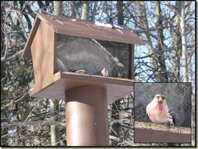 Common Redpolls (Carduelis flammea) on the feeder at Huron