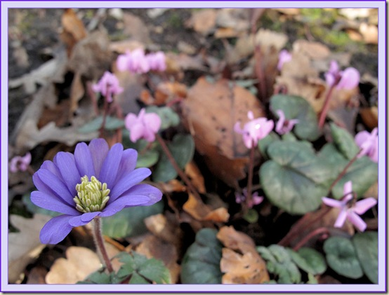 Anemone and Cyclamen
