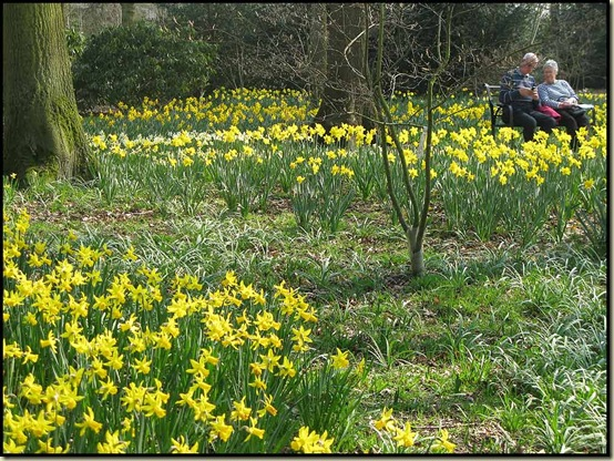Daffodils in Dunham Massey Winter Garden