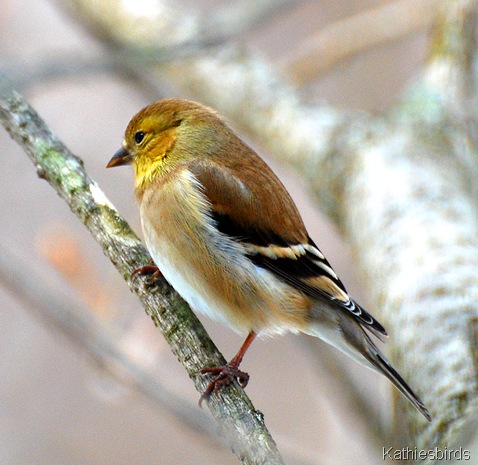 1. Goldfinch katiesbirds