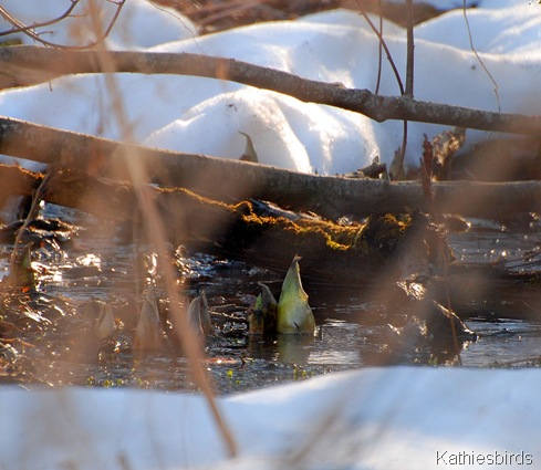 7. skunk cabbage K