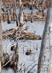 3. goose on nest-kab