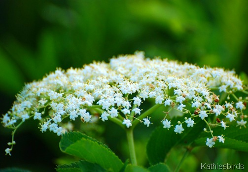 7. Queen anne's lace-kab
