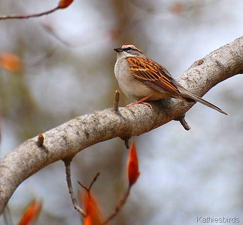 7. Chipping sparrow 4-24-11