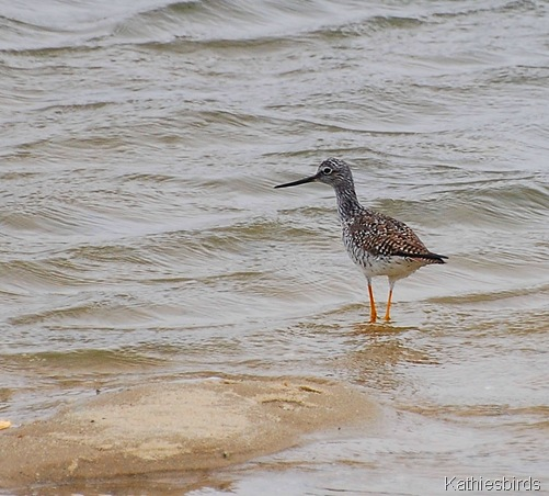 14. yellowlegs-kab