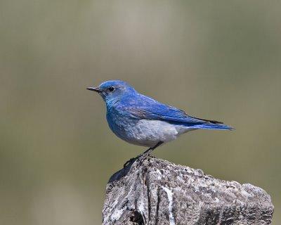 bigstockphoto_Mountain_Bluebird_3236316.jpg