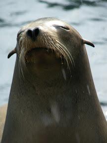221 - Un león marino.JPG