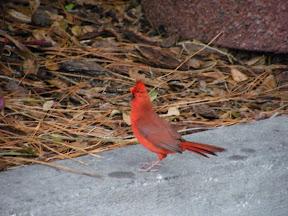 242 - Un pájaro rojo.JPG