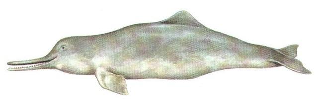 Whitefin Dolphin