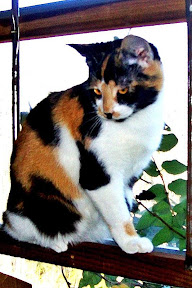 Lola a tamed calico feral cat