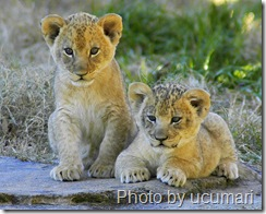 lion cubs by ucumari