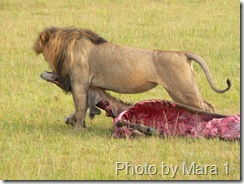 lion eating prey