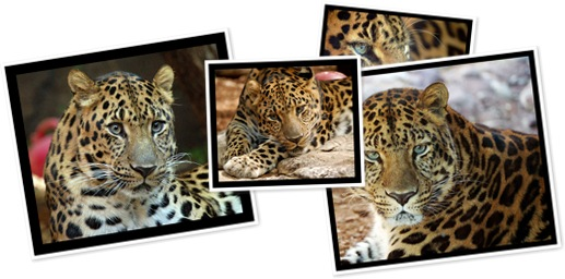 View amur leopard album