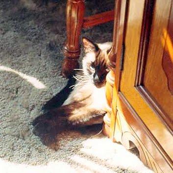 Siamese cat Cao