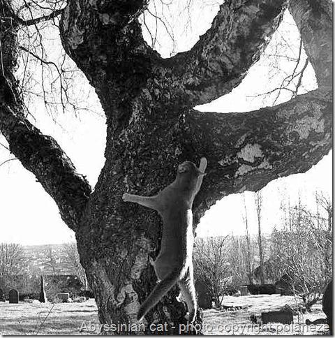 abyssinian cat climbing