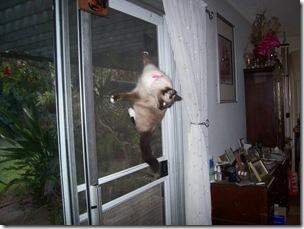 cat climbing indoors