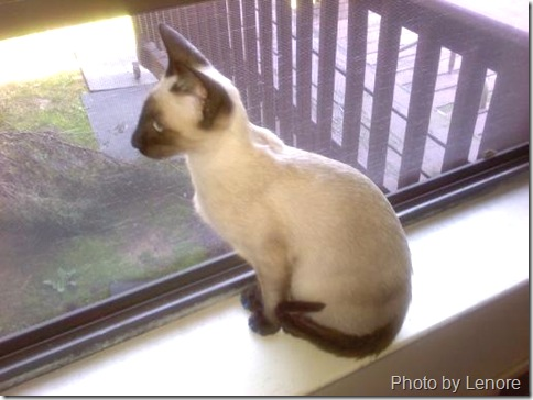siamese cat blue looking out of the window
