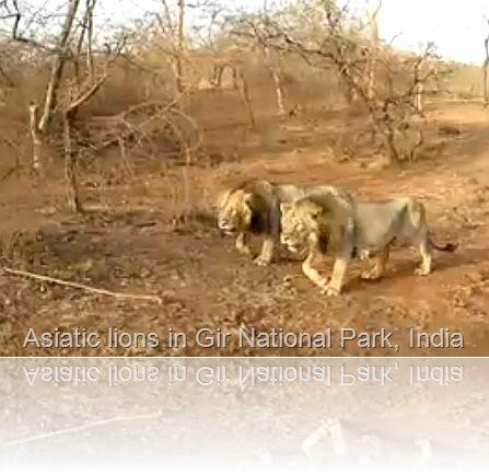 Asiatic lions in Sasan Gir National Park in Gujarat, India