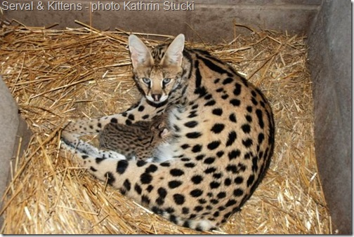 serval and kittens